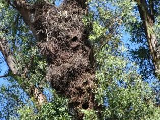 nids de perroquets