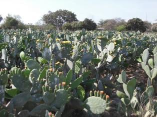 DSCN3336 champ de cactus