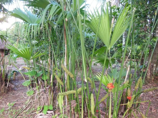 DSCN8568 palmiers pour faire des panamas