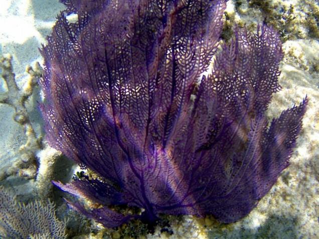 plongee belize corail bleu